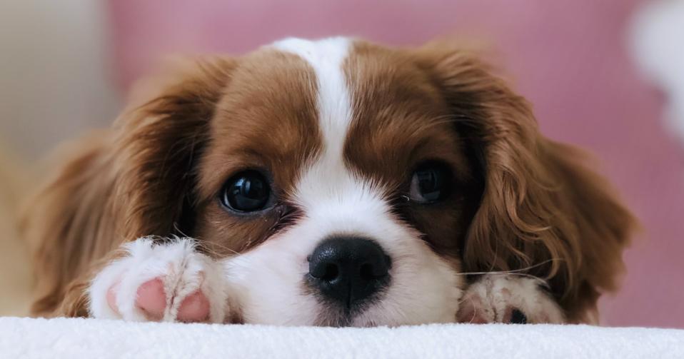 Raising Puppies During COVID-19